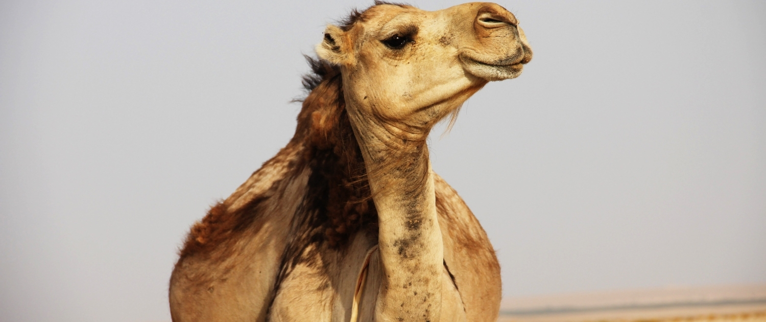 The smile of a Moroccan Camel